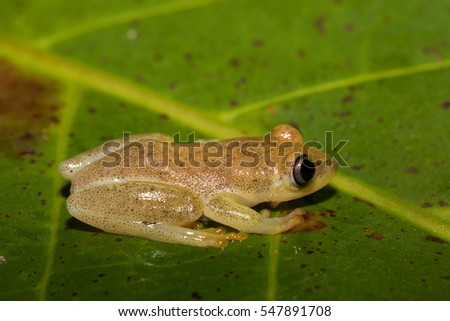 Small yellow tree frog from Boophis family, endemic to Madagascar. Masoala National Park, Maroantsetra, Madagascar wildlife and wilderness