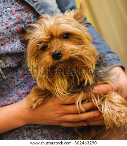 Small Yorkshire terrier in a hands. focus on a animal hand