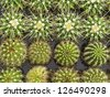 Small young cacti in greenhouse potting trays - stock photo