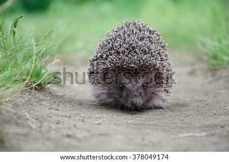 small young Hedgehog walk on the ground  - stock photo