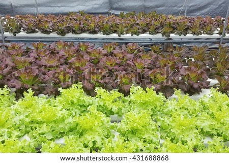 Small young hydroponic salad vegetable lettuce, red oak, green oak, green cos, butter head,red coral, Battavia, planting in farm. - stock photo