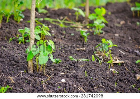 Small young new pea plant growing in fertile rural soil with a pole next to it suggesting home grown healthy organic vegetables - stock photo