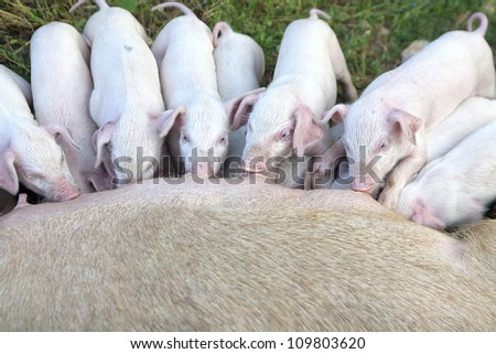 small young piglets, sucking in the open - stock photo