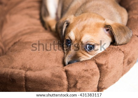 Small Young Terrier Mix Puppy Sleeping in Round Dog Bed