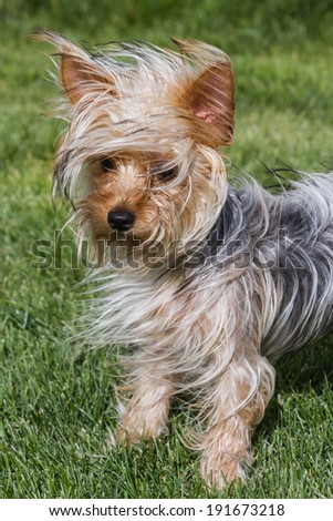 small young Yorkshire terrier puppy with long hair blowing in the wind