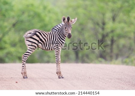 Small zebra foal standing on a road alone looking for his mother - stock photo