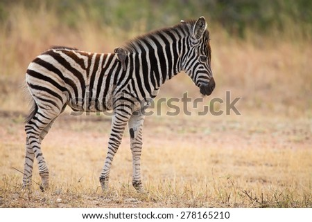 Small zebra foal standing with an ox-pecker on his back