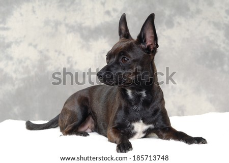 Smalle black puppy dog is resting. The breede of the dog is a mix of a chihuahua and a miniature pinscher. - stock photo