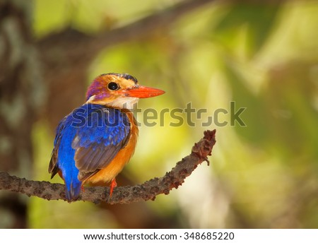 Smallest colorful orange and shining blue african kingfisher African Pygmy Kingfisher Ispidina picta perched on branch and looking for insects under Mopane tree canopy.  Rear view. South africa,Kruger - stock photo