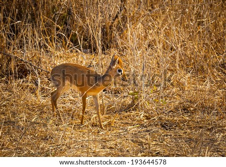 Smallest dear in Africa, the dik dik - stock photo