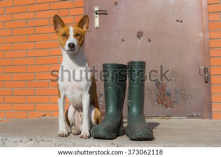 Smart basenji doesn't like the idea of being dirty after spring outdoor strolls. It insists the master would buy such nice rubber boots for his pet too.