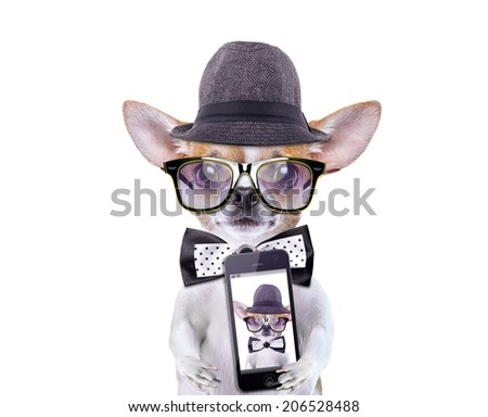 Smart beautiful dog chihuahua photographed themselves on the phone. Funny animals. Fashionable dog dressed in beautiful clothes - stock photo