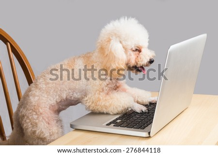 Smart beige poodle dog typing and reading laptop computer on table - stock photo