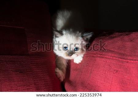 Smart cat climbs red sofa - stock photo