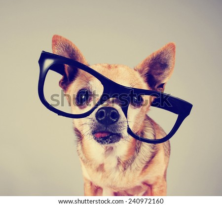 smart chihuahua wearing glasses toned with a retro vintage instagram filter effect - stock photo