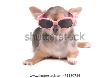 Smart dog. Chihuahua Puppy Wearing Pink Sun Glasses Isolated