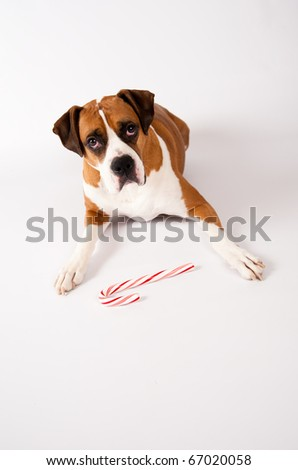 Smart Fawn Colored Dog Guarding Candy Cane on White Background - stock photo