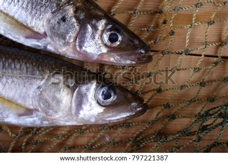 Smelt fishes on net. Pacific smelt variety