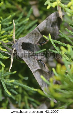 Smerinthus ocellatus, known as the eyed hawk-moth, - stock photo