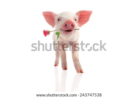 smile a pig with a rose flower on a white background - stock photo