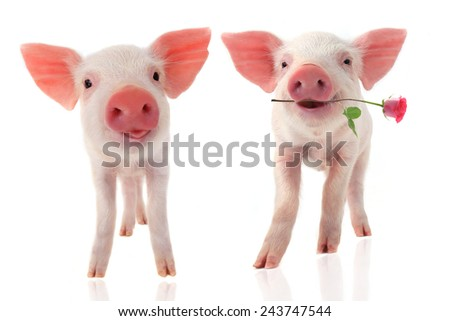smile a pigs with a rose flower on a white background - stock photo