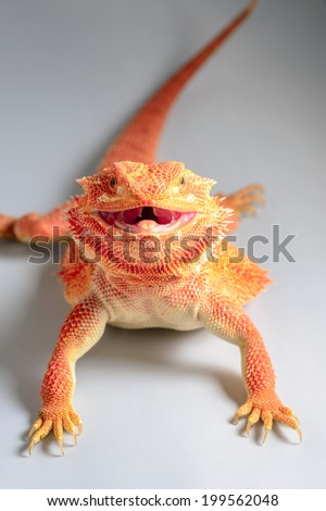 Smile cute orange Hypo Leatherback Bearded Dragon perched  white and gray background shadow effect on white table, a branch ,sitting on tree in the natural habitat. close-up photos ,skin surface rough - stock photo