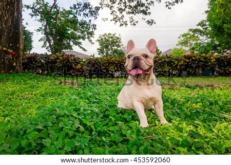 Smile French Bulldog in leaf Field, Green park - stock photo