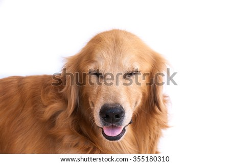 smile golden retriever dog isolated on white background - stock photo