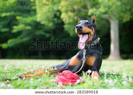 Smile of Doberman