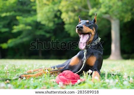 Smile of Doberman - stock photo