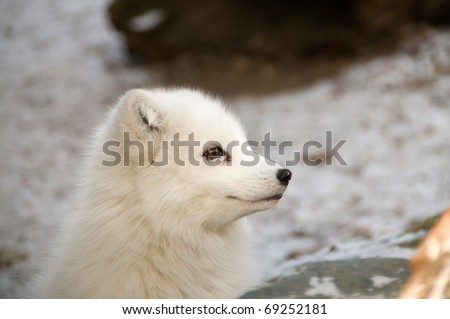 Smile of the polar fox.