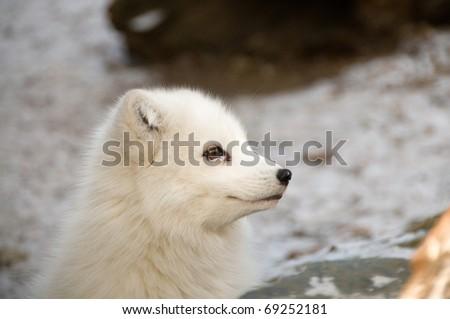 Smile of the polar fox. - stock photo
