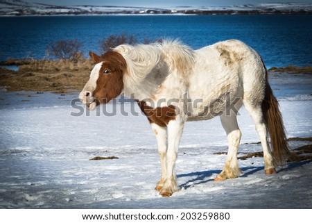 Smile on Icelandic horse face - stock photo