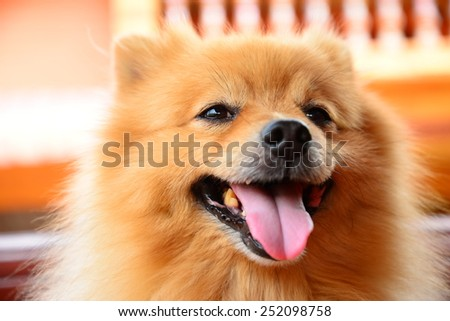 Smiley Face Pomeranian Dog - stock photo