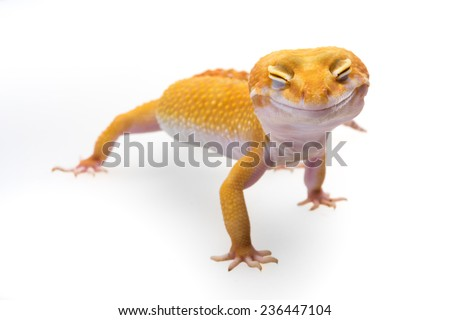 Smiley leopard gecko - stock photo