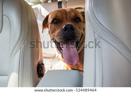 Smiling big red dog driving in back end of a car with head between front seats. Pet transportation