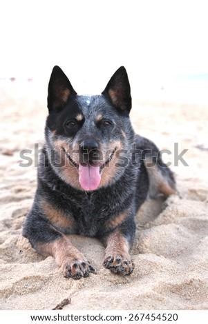 Smiling blue heeler dog, australian cattle dog on sandy beach - stock photo