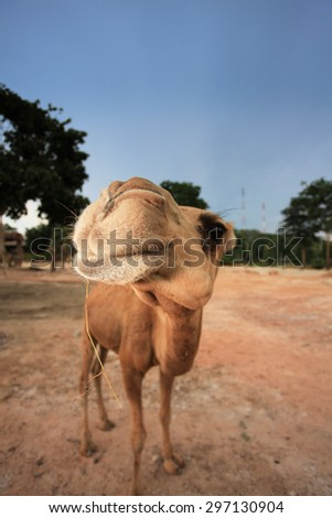 Smiling camel looking in lens - stock photo