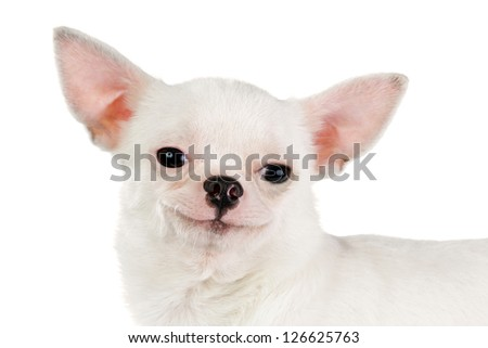 smiling chihuahua looking at camera isolated on a white background
