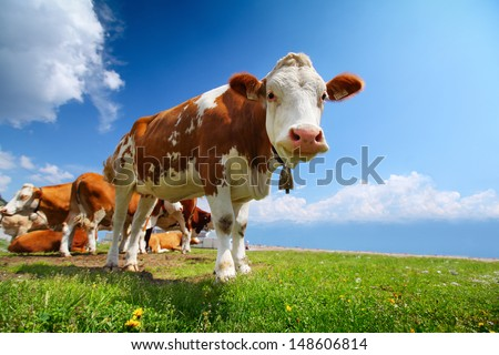 Smiling cow grazing on a green meadow at sunny day - stock photo