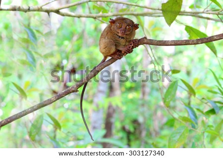 Smiling cute tarsier sitting on a branch with green leaves, the smallest primate in the world and this one was a great model for the photo shoot - stock photo