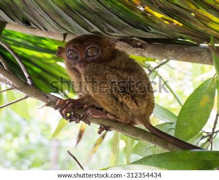 Smiling cute tarsier sitting on a tree,  Bohol island, Philippines - stock photo