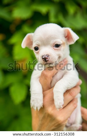 smiling cute white chihuahua puppy in a hand with green leaf background - stock photo
