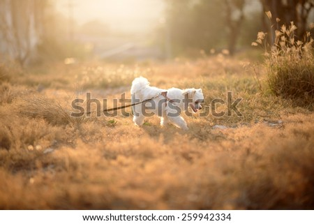 smiling cute white dog on brown grass - stock photo