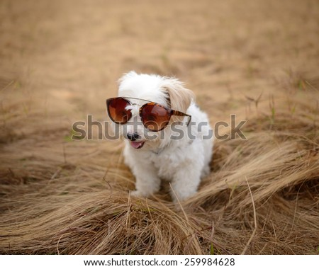 smiling cute white dog wearing sunglasses sit on brown grass - stock photo