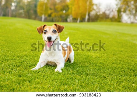 Smiling dog lying on the green fresh grass. Active Jack Russell terrier want to play. series of photos
