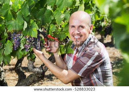 Smiling elderly man working on collecting ripe grapes on winery yard