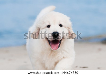 smiling golden retriever puppy portrait - stock photo