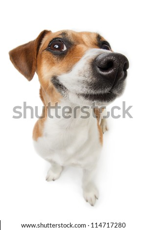 Smiling Jack Russel terrier dog. Pleased dog with big nose on white background. Studio shot. - stock photo