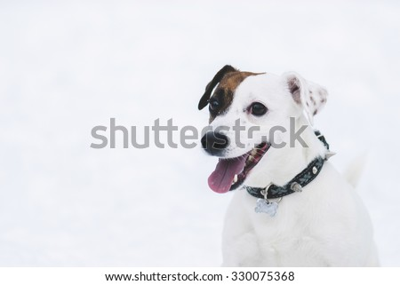 Smiling Jack Russell Terrier dog on white snow background - stock photo